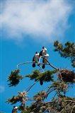 New Zealand, South Island, Cormorant birds Art Print