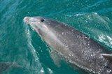 New Zealand, South Island, Marlborough Sounds, Dolphin Art Print