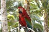 Parrot at Radisson Resort, Palm Beach, Aruba, Caribbean Art Print