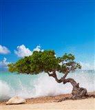 Divi Divi Tree, Eagle Beach, Aruba, Caribbean Art Print