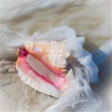 Bahamas, Little Exuma Island Conch Shell In Surf Art Print
