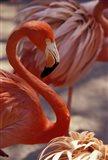 Pink Flamingo in Ardastra Gardens and Zoo, Bahamas, Caribbean Art Print