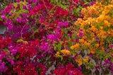 Bougainvillea flowers, Princess Cays, Eleuthera, Bahamas Art Print