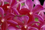 Pink Orchids, Barbados, Caribbean Art Print