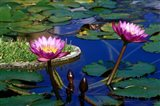 Water Lillies in Reflecting Pool at Palm Grove Gardens, Barbados Art Print