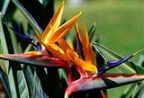 Bird of Paradise in Bermuda Botanical Gardens, Caribbean Art Print