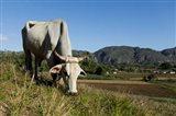 Ox Grazing, Farm animals, Vinales, Cuba Art Print
