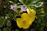 Dominican Republic, Punta Cana, Allamanda flower - yellow Art Print
