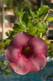 Dominican Republic, Punta Cana, Allamanda flower - pink Art Print