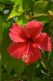 Dominican Republic, Bavaro, Hibiscus flower Art Print