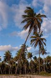 Palm Trees, Bavaro, Higuey, Punta Cana, Dominican Republic Art Print
