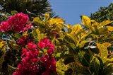 Bougainvillea flowers, Bavaro, Higuey, Punta Cana, Dominican Republic Art Print