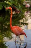 Pink flamingo, Bavaro, Higuey, Punta Cana, Dominican Republic Art Print