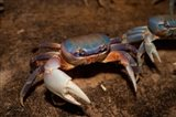 Blue Crab, served in local restaurants, Old San Juan Art Print