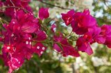 Bougainvillea flowers, Grand Cayman, Cayman Islands, British West Indies Art Print