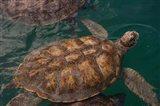 Turtle Farm, Green Sea Turtle, Grand Cayman, Cayman Islands, British West Indies Art Print