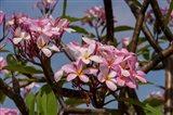 Pink Oleander Flora, Grand Cayman, Cayman Islands, British West Indies Art Print