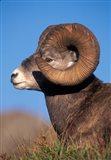 Bighorn Sheep wildlife, Jasper National Park, Alberta Art Print