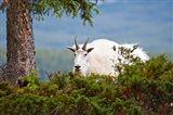 Alberta, Jasper National Park, Mountain Goat wildlife Art Print