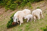 Alberta, Jasper NP, Mountain Goat wildlife Art Print
