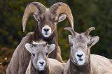 Alberta, Jasper Bighorn Sheep Ram With Juveniles Art Print