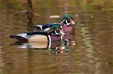 Wood ducks, British Columbia, Canada Art Print
