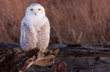 Snowy owl, British Columbia, Canada Art Print