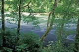 Trees and Ferns on Banks of Campbell River, Vancouver Island, British Columbia Art Print