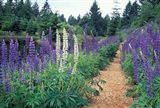 Lupines by a Pond, Kitty Coleman Woodland Gardens, Comox Valley, Vancouver Island, British Columbia Art Print