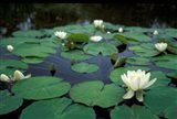 White Water-Lily in Bloom, Kitty Coleman Woodland Gardens, Comox Valley, Vancouver Island, British Columbia Art Print