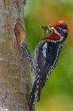 Canada, British Columbia, Red-naped Sapsucker bird, nest Art Print