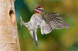 British Columbia, Red-naped Sapsucker bird Art Print