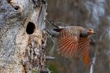 British Columbia, Red-shafted Flicker bird Art Print