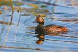 British Columbia, Eared Grebe bird in marsh Art Print