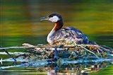 British Columbia, Red-necked Grebe bird on nest Art Print