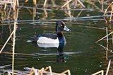 British Columbia, Ring-necked Duck in marsh Art Print