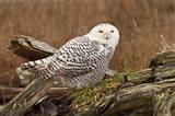 Canada, British Columbia, Boundary Bay, Snowy Owl Art Print