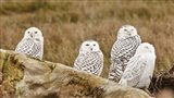 Flock of Snowy Owl, Boundary Bay, British Columbia, Canada Art Print
