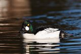 British Columbia, Vancouver, Common Goldeneye duck Art Print