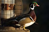 Wood Duck Drake, George C Reifel Migratory Bird Sanctuary, Westham Island, British Columbia, Canada Art Print