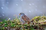White-Crowned Sparrow In A Spring Snow Storm Art Print