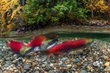 British Columbia, Adams River Sockeye Salmon Split Shot Art Print