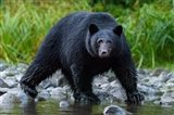 British Columbia Black Bear Searches For Fish At Rivers Edge Art Print