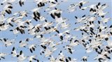 British Columbia Reifel Bird Sanctuary, Snow Geese Flock In Flight Art Print