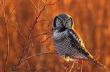British Columbia Northern Hawk Owl Perched On Blueberry Bush Art Print