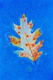 Canada, Quebec, Mount St Bruno Conservation Park Red Oak Leaf Caught In Ice Art Print