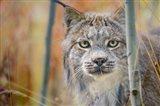 Yukon, Whitehorse, Captive Canada Lynx Portrait Art Print