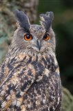Czech Republic, Liberec Eagle Owl Falconry Show Art Print