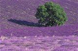 Lavender Fields, France Art Print