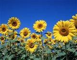 Sunflowers, France Art Print